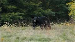American Black Bear (Ursus americanus) (Steve Byland) Tags: american black bear ursus americanus mammal canon 7d markii merrillcreek