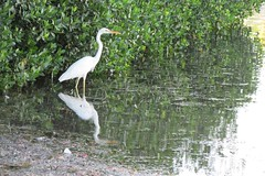 Great White Heron (BirdWatcher6723) Tags: 2015 birds florida greatwhiteherons herons keywest nature unitedstates water wildlife urban ardeaherodias