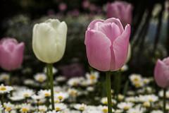 Tulips (bluepoppynz) Tags: monavale christchurch
