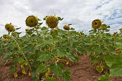 Sunflower (JOAO DE BARROS) Tags: barros joo sunflower plant botany