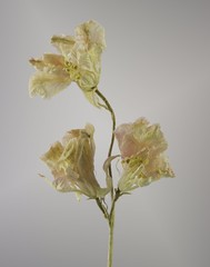 Dried Pink Wildflowers. (Fotofrieze Photography) Tags: botanical dried flora floral flowers pink wildflowers