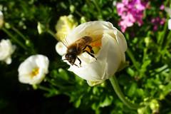 Bee (dgardenia) Tags: rose flower macro outdoor garden nature springbulbs insect bee jasmine iris camellia ranunculus potplant