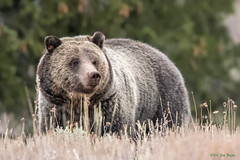 """Blondie"" Up Close - Female Grizzly Bear (Ursus arctos horriblis) - Grand Teton National Park (Jim Frazee) Tags: blondie grizzlybear ursusarctoshorriblis grandtetonnationalpark"
