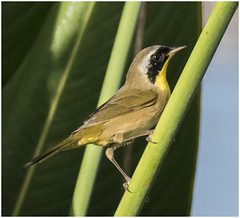 Common Yellow Throat (billkominsky ) Tags: naturethroughthelens