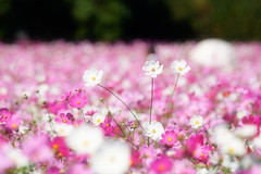 Scene of autumn (Colorful-wind) Tags: 2016 autumn color colorful colors cosmos fall flower fujifilm fukuoka japan light lightandshadow nature park pink plant white xt1