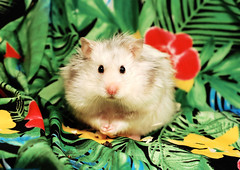 Bubu (again) (pyza*) Tags: hamster hammie syrian syrianhamster chomik chomiksyryjski animal pet rodent critter adorable cute sweet furry fluffy monster