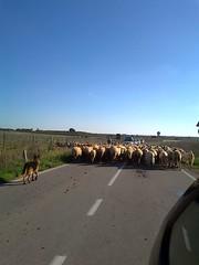 gregge (cristiano palese) Tags: gregge pecore