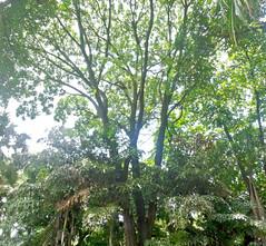 Swietenia macrophylla (Mogno) (flora.wheberson.com.br) Tags: plantas plants plantasnativas meliaceae parquemunicipalbh