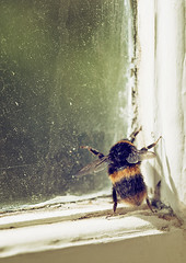 trapped... (borealnz) Tags: bee bumblebee inside window trapped insect macro
