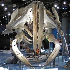 Eubalaena glacialis (North Atlantic right whale) 7 (James St. John) Tags: eubalaena glacialis north atlantic right northern whale whales mysticeti mysticete mysticetes cetacea mammal mammals skeletons cetacean cetaceans skeleton