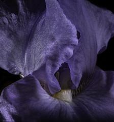 Beard In The Light (Bill Gracey) Tags: spotlight germanbeardediris purple fleur flower flor nature macrolens naturalbeauty naturephotography offcameraflash roguegrid yn560iii yongnuorf603n softbox blackbackground beard