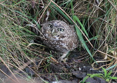 Burrowing Owl (JAC6.FLICKR) Tags: athenecunicularia burrowingowl oregon