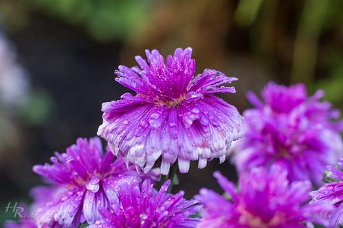 Regentropfen auf Blüte