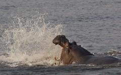 Hippo (José Rambaud) Tags: hippo hippopotamus hippopotamusamphibius hipopotamo mammals mamiferos animal animals animales wild wildlife botswana chobe