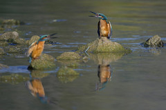 Le cri de guerre - the battle cry (mehdiapic) Tags: pcheur kingfisher nature wildlife combat fight martin