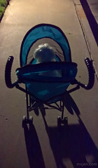 This Evening's Walk in the Early Dark (Ms. Jen) Tags: california huntingtonbeach lumia lumia950 november november2016 photobyjeniferhanen scruffy scruffymcdoglet carriage eveningwalk msjencom olddog stroller unitedstates