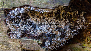 Polycephalomyces tomentosus on Trichia sp. Slime Mould
