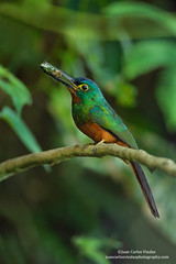 Coppery-chested Jacamar,Ecuador (www.juancarlosvindasphoto.com) Tags: juancarlosvindas centralamerica nature wildlife landscape frog amphibian birds birdphotography photographer photos pictures stock fulllength nobody frontalview sideview outdoors mammals endemic reptiles portraitmode portrait large small aves colibries colibris hummingbird canon multiflash gear tropical rainforest cloudforest tropicaldryforest protected workshop tour expedition unique cute waterfall green forest poisonous rightsmanaged rm getty treefrog leaffrog landscapes ecuador distinctive endangered animalsinthewild birdwatching biology biodiversity multicolored animal toucan wildanimals tropicalbirds neotropicwildlife neotropicbirds copperychestedjacamar galbulapastazae vulnerable vulnerablespecie birdlifeinternational