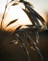 Late sunshine on the grass (L E Dye) Tags: extentiontube20mm macromonday themebacklit alberta canada d5100 ledye macro nikon grasses