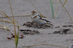 Snow On Sand. (stonefaction) Tags: snow bunting fife kinshaldy beach tentsmuir birds nature wildlife scotland