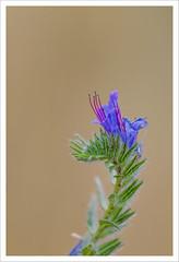 Fiore 211 (Outlaw Pete 65) Tags: macro closeup fiore flower natua nature colori colours nikond600 sigma105mm brescia lombardia italia