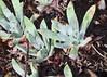J20161101-0016—Dudleya greenei—RPBG (John Rusk) Tags: ebparksok taxonomy:kingdom=plantae plantae taxonomy:clade=tracheophyta tracheophyta taxonomy:phylum=magnoliophyta magnoliophyta taxonomy:class=magnoliopsida magnoliopsida taxonomy:order=rosales rosales taxonomy:family=crassulaceae crassulaceae taxonomy:genus=dudleya dudleya taxonomy:species=greenei taxonomy:binomial=dudleyagreenei dudleyagreenei greenesdudleya taxonomy:common=greenesdudleya