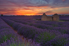 Bees in Paradise (Jackie Tran Anh) Tags: lavender france valensole provence sun sunrise sunset clouds sky flowers bee paradise