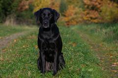 Buddy at fall (Flemming Andersen) Tags: animal autumn black buddy efterr outdoor dog fall hund labrador leaves retriever trstammer wood bredsten regionsyddanmark denmark dk