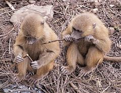 Curiosity (kathharper23) Tags: baboons baby wildlife