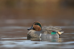 Sarcelle d'hiver ♂Green-winged teal (Sylvain Prince) Tags: anascrecca