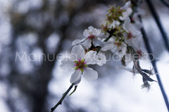 #almendro #almond #2015 #pizarra #mlaga #andaluca #espaa #spain #naturaleza #nature #flores #flowers #rbol #tree #campo #country #photography #photographer #sonyalpha #sonyalpha350 #sonya350 #alpha350 (Manuela Aguadero) Tags: sonyalpha350 almond espaa campo pizarra almendro rbol 2015 photography spain country sonya350 tree flores nature andaluca sonyalpha photographer flowers mlaga alpha350 naturaleza