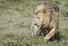 Male Lion On the Move (brucefinocchio) Tags: maleliononthemove lionchangingdirections movement twisting lion malelion ndutu ngorongoroconservationarea tanzania eastafrica