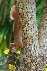 KMH_3669 (Island Snapper) Tags: redsquirrel wight iow shanklin