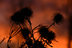 Just teasing (Steve.T.) Tags: nature teasels silhouette sunset whetmead naturereserve dusk spikes prickles prickly nikon d7200 sigma18200 witham essex wildlife wildflowers bokeh