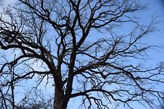 Branching (marensr) Tags: oak tree nature blue sky branches bare late autumn fall november chicago fractal