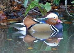 Mandarin Duck (chdphd) Tags: aixgalericulata aix reflections aberdeenshire aberdeen johnstongardens