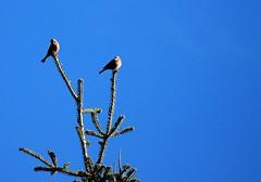 Από την πόλη έρχομαι, και στην κορφή δυο σπίνοι. (philos from Athens) Tags: birds parnitha σπίνοσ picmonkey