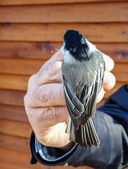 Leucistic Chickadee (Arlen Breiholz) Tags: usa wildlife cameras songbirds animals birds eos7d iowa birdbanding johnsoncounty places fwkentpark oxford unitedstates us