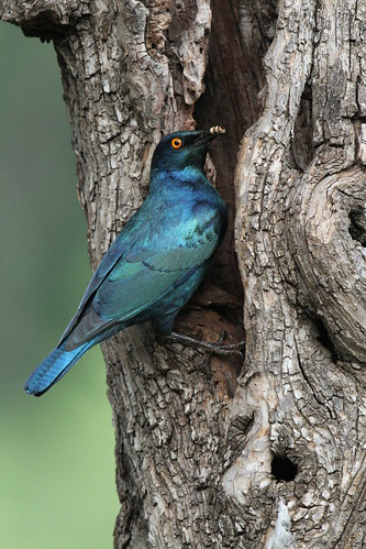 Cape Glossy Starling _5117