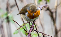 Head On..... (vxisme.) Tags: robins birds lochlomond winter
