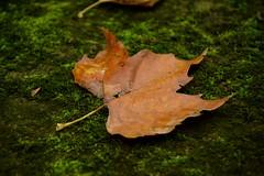 OTOO SOBRE UN CAMPO DE MUSGO (marthinotf) Tags: otoo campodemusgo hojascaidas dasdeotoo airelibre composicin naturalezamuerta asturias hojassecas laplasticidaddelotoo loscoloresdelotoo