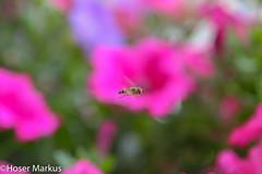 IMG_1011-3 (markus.hoser) Tags: im fliege lavendel flug schwebfliege syrphus fluginsekt
