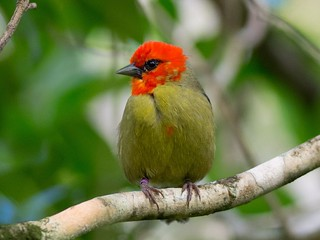 Mauritius Fody / Mauritius Webervogel (Foudia Rubra)
