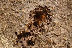 Termite open hatch from the nest (daveynin) Tags: bug open hole nest nps termite usvi deaftalent deafoutsidetalent deafoutdoortalent