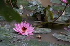 IMG_4309 (singaporeplantslover) Tags: nymphaea   lotus