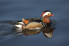 Mandarin Duck (Chris*Bolton) Tags: ireland bird nature water birds river duck ducks mandarinduck wicklow arklow avocariver
