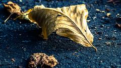 Autumn Fallers (ianmiddleton1) Tags: autumn fall leaf glasgow autumnal