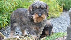 (Kenneth Gerlach) Tags: dog pets denmark chili outdoor dachshund hund dk haslev gravhund ruhret regionzealand troelstrup miniaturegravhund