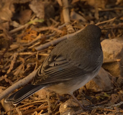 Back of Dark Eyed Junco (jdcalvin096) Tags: egg laying faethers naturescreations