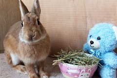 Ichigo san with friend (mensore) Tags:  rabbit bunny netherland dwarf brown cute pet family ichigo